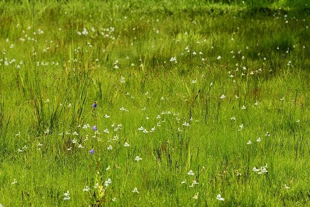 せら公園のサギ草2