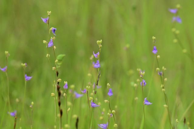ホザキノミミカキ草1