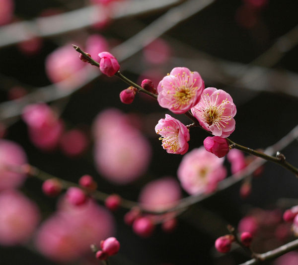 japanese-plum-red-flower_l.jpg