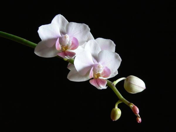 phalaenopsis-2_l.jpg