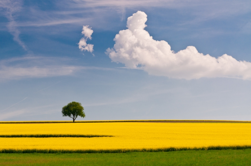 rapeseed-and-the-tree-4.jpg