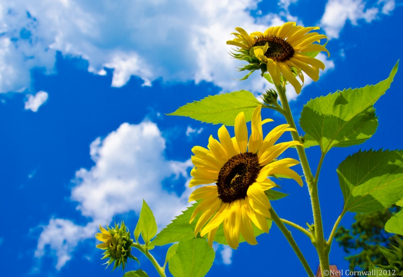 stretching-sunflowers.jpg