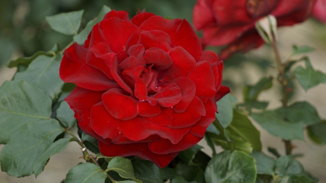 赤いバラ20140527