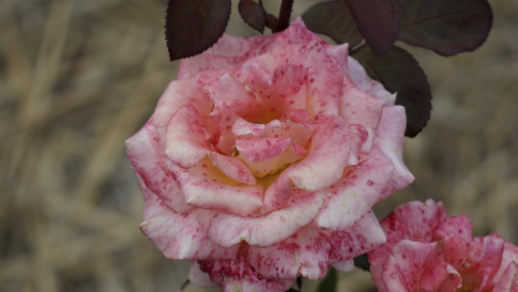 薔薇ピンク&ドット3 智光山 20140523.