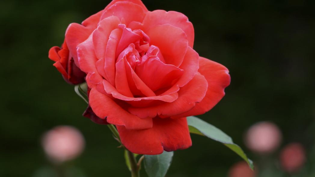 薔薇オレンジ 智光山 20140523.