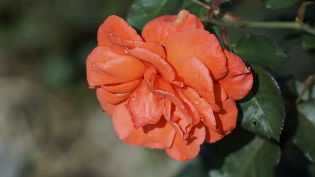 薔薇 タイムレス9820140612