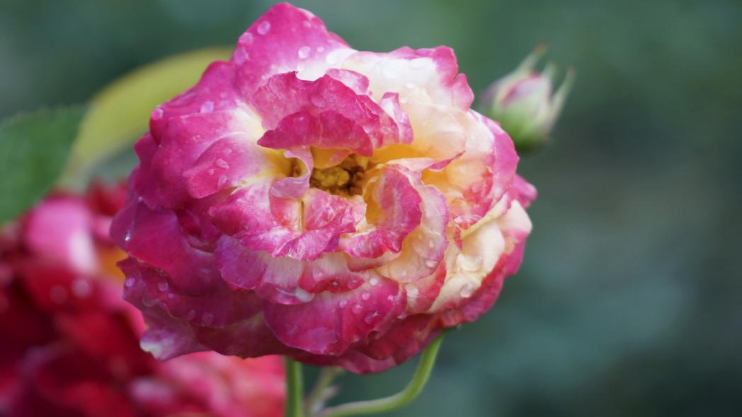 薔薇 スペルバウンド 20140612-3?