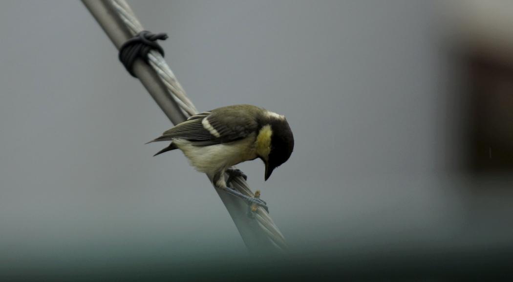 シジュウカラ幼鳥1-20140620