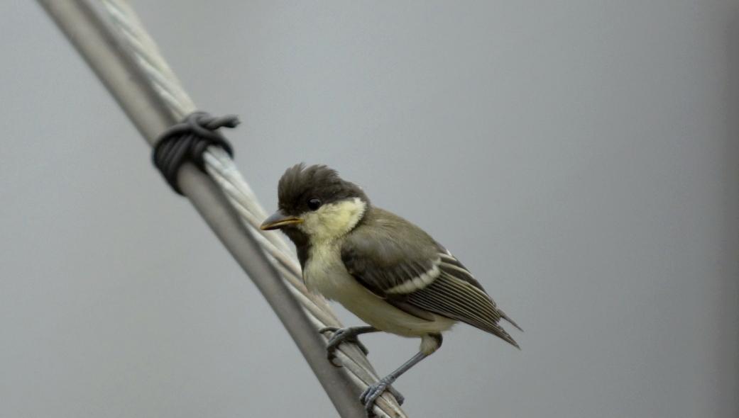 シジュウカラ幼鳥220140620