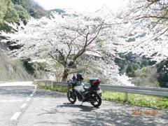 庭田山の桜 013