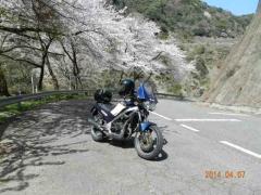 庭田山の桜 014