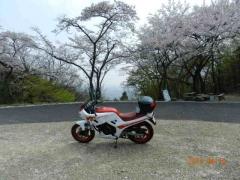 薄墨桜015