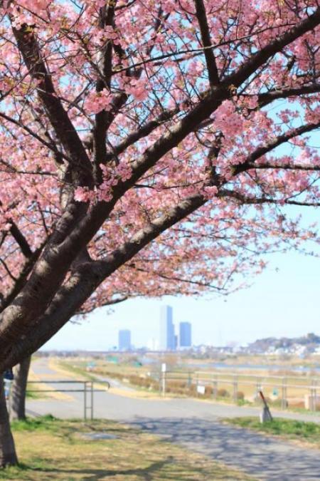 多摩川の河津桜 2014
