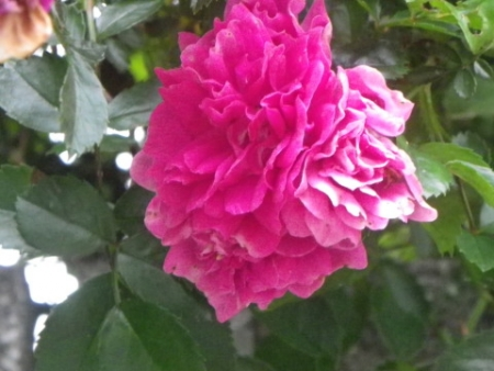 mmm-rose.jpeg