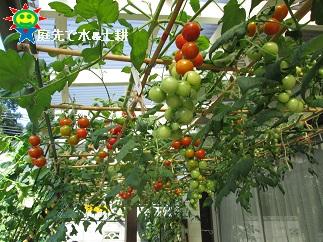 7・28ミニトマト3