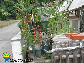 8・13ミニトマト
