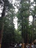 伊勢神宮 樹木