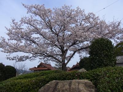 20140407桜01
