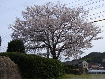 20140407桜02