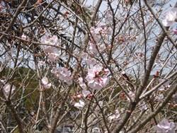 201403桜
