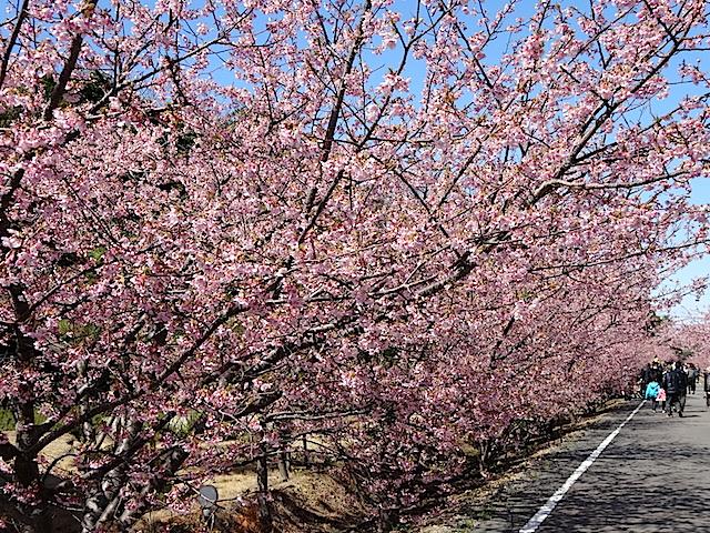 0308河津桜3