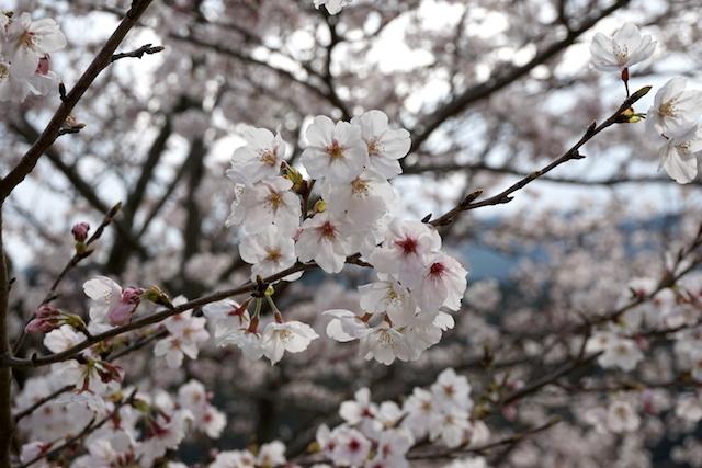 0329桜2
