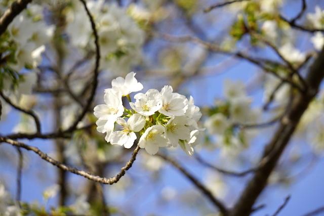 0329桜3