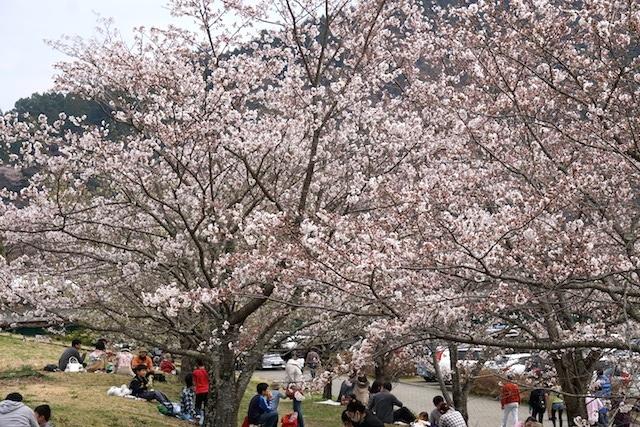 0329桜4
