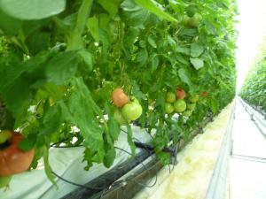 収穫前トマト