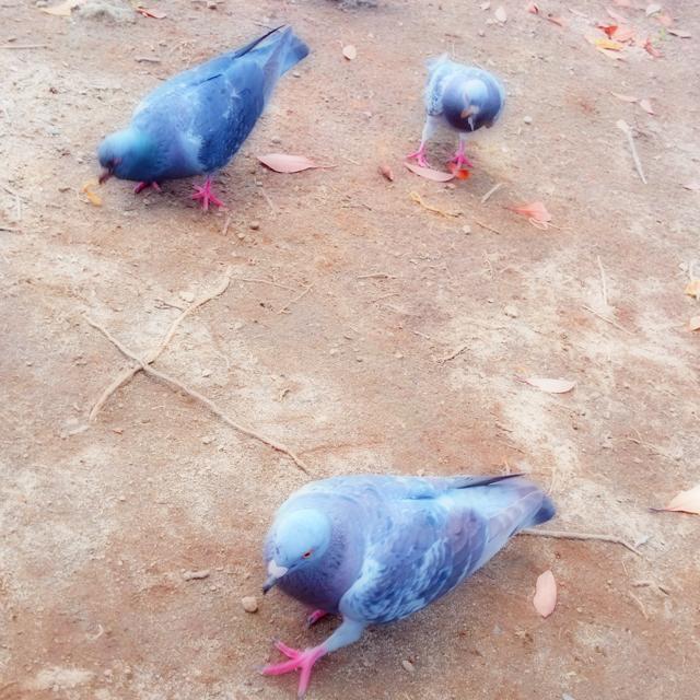 パンを狙う鳩たち