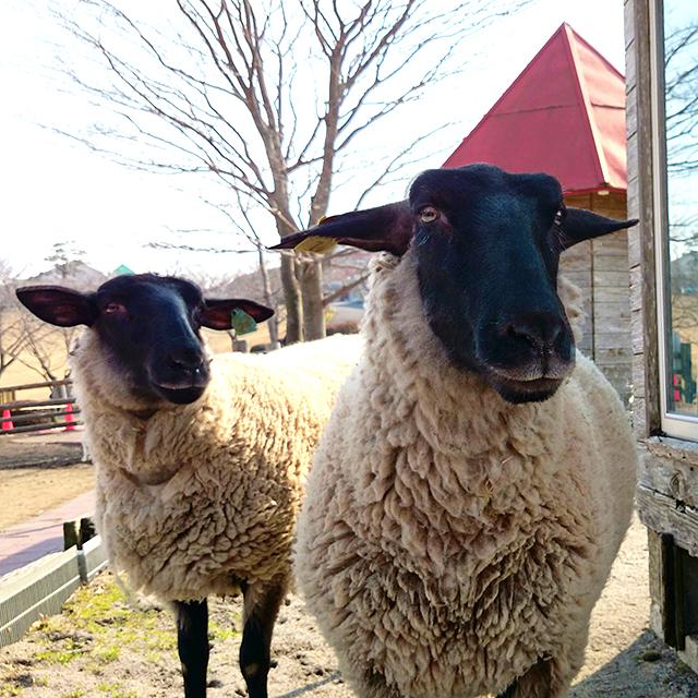 なんだか嬉しそうな羊