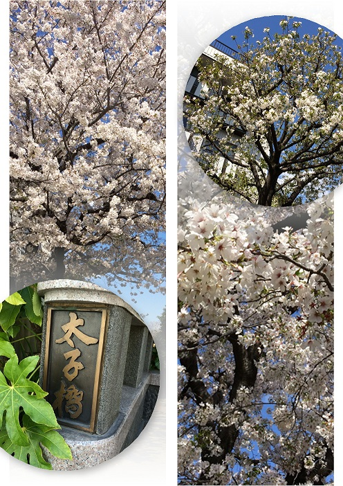 東京の桜 い 50