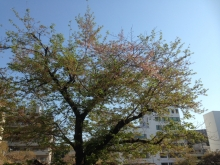 桜、散っちゃった