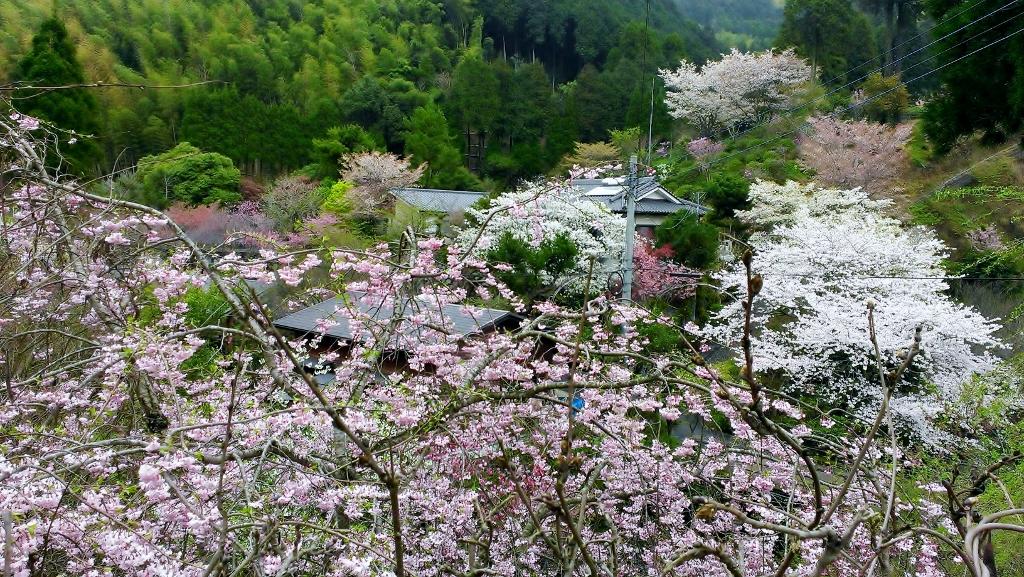 2014桜開花