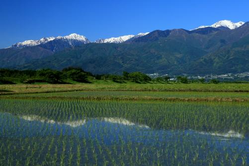 青島地区の水田から望む西駒ヶ岳