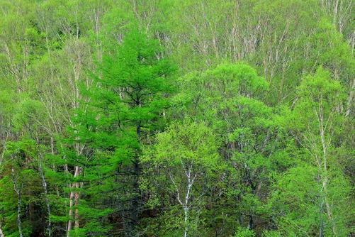 白樺と岳樺と落葉松の萌える若葉をまとう森