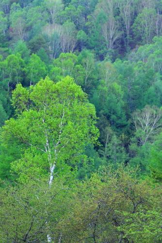 芽吹く白樺をとり囲む岳樺の森