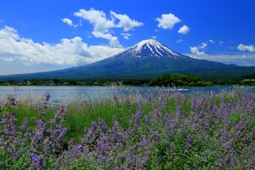 ラベンダー香る河口湖からの富士山