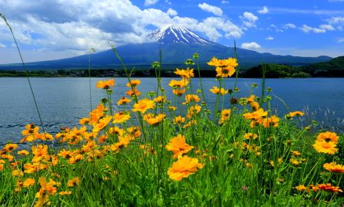 オオキンケイギクと富士山