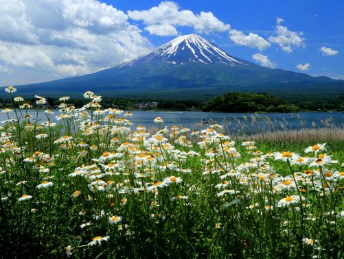 マーガレット咲く川口湖畔から綿雲と残雪映える富士山