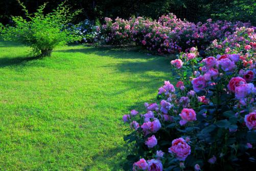 芝生を取り巻くバラ囲い