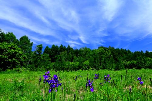 アヤメと雲の彩る高原風景