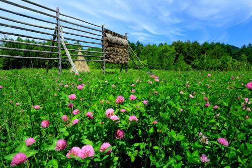 赤つめ草の草原とソバの櫨掛