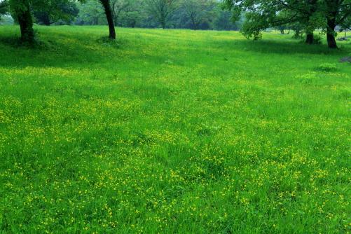 小雨降るキンポウゲ咲く草原