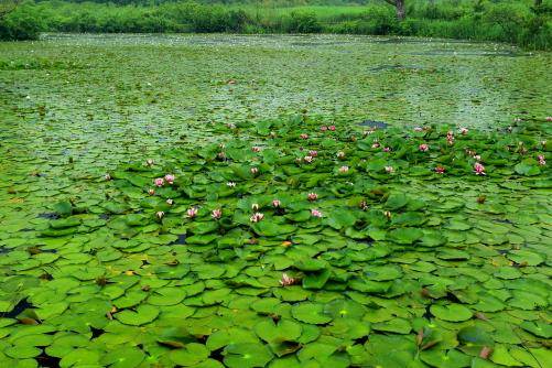 コウホネの咲く湖面