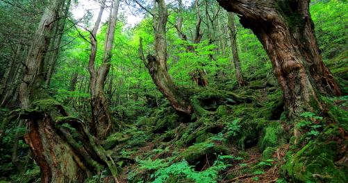 さわらの変形巨木が林立する森