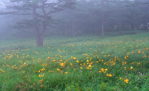 霧に煙るニッコウキスゲのお花畑