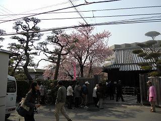原田住宅桜 005