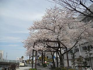 2014桜 001