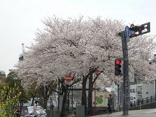 2014桜 005